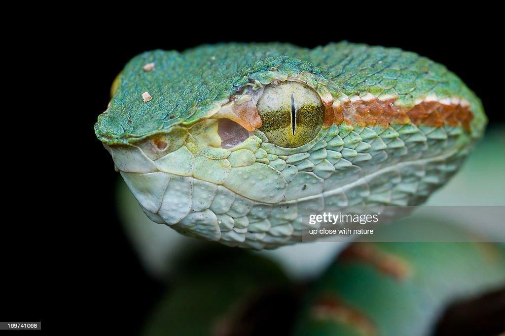 Venomous Pit Viper Stock Photo - Getty Images