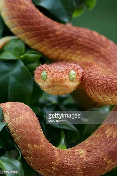 Venomous Red Bush Viper Snake Ready to Strike