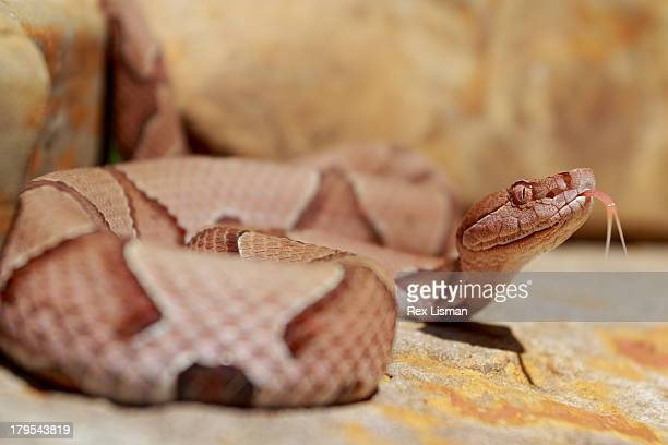 a venomous snake tests the air with it's tongue - copperhead snake stock pictures, royalty-free photos & images