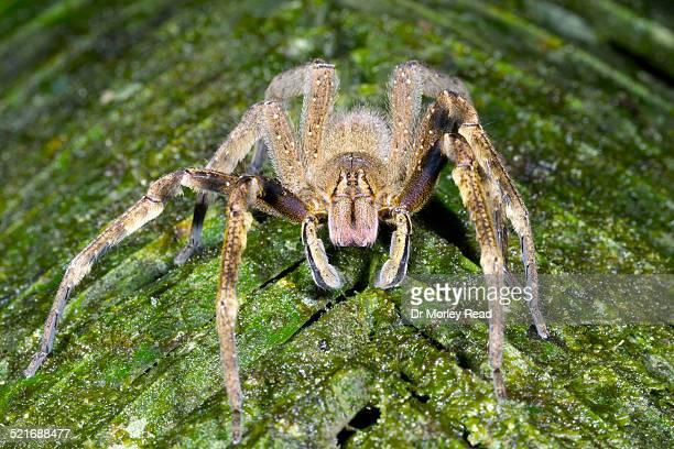 venomous wandering spider (phoneutria sp.) - braziliaanse zwerfspin stockfoto's en -beelden