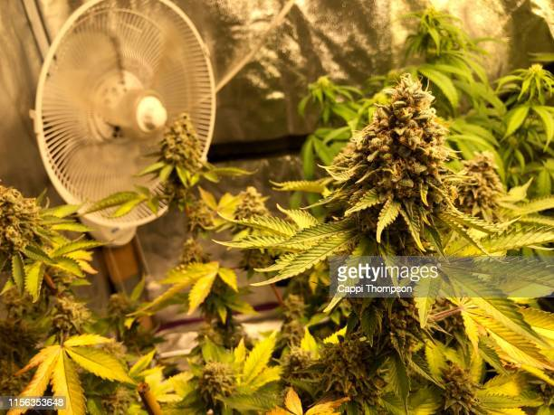 ventilation fan in background of marijuana grow room - tent stock pictures, royalty-free photos & images