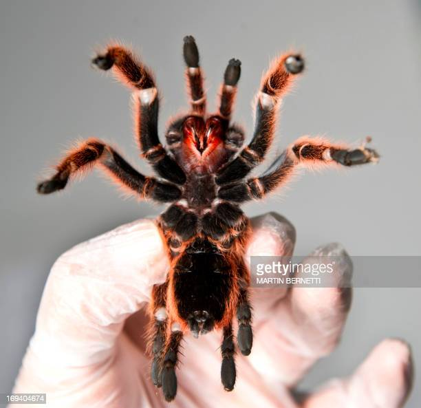 Ventral view of one of the around 5000 spiders bred at a spider farm in Batuco some 30 km north of Santiago on May 22 2013 Orellana's farm breeds a...