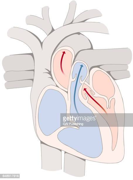 Ventricular systole, Ventricular systole is the period of the cardiac cycle during which the ventricles of the heart contract, causing the expulsion...