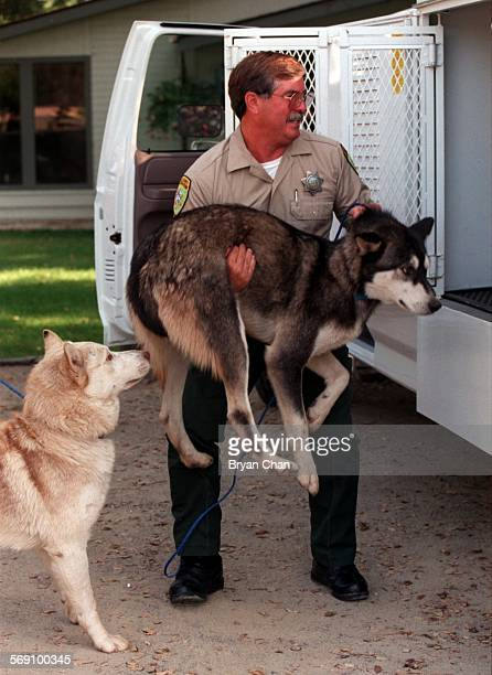 A Ventura County Animal Control Officer takes into custody two dogs suspected of attacking four sheep in Ojai The dogs were taken to the Humane...