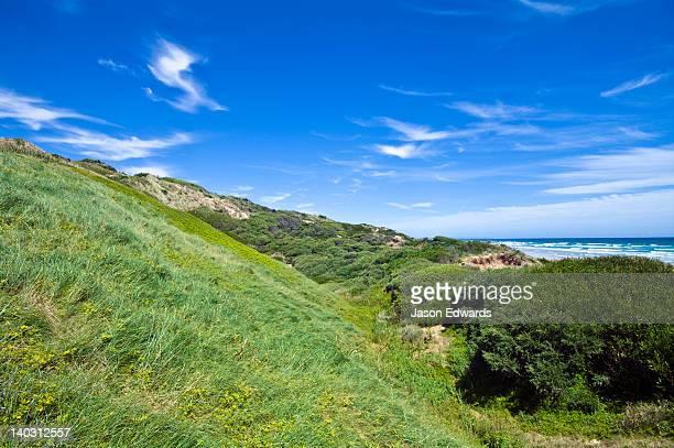 Marram Grass, Ammophila arenaria stabilising a coastal sand dune.