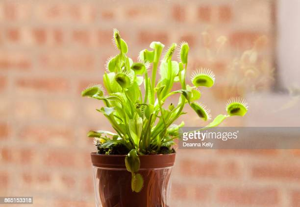 Venus Fly Trap Plant with Many Caught Flies