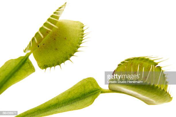 venus flytrap (dionaea muscipula) leaf, close-up - carnivorous stock pictures, royalty-free photos & images
