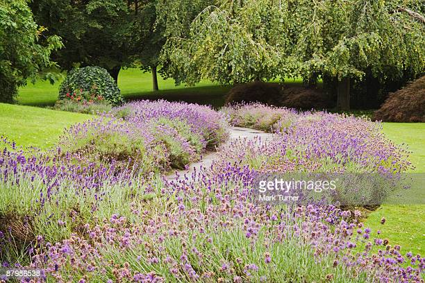 Vera lavender borders curving path