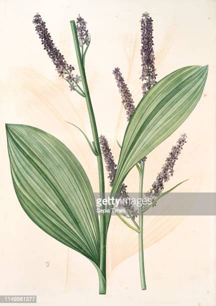 Veratrum nigrum, Veratre noir, Redoute, Pierre Joseph, 1759-1840, les liliacees, 1802 - 1816