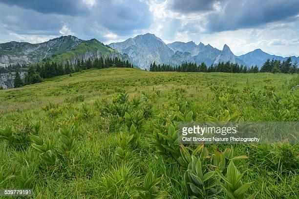 veratrum plants on alpine meadow in ammergau alps - バイケイソウ ストックフォトと画像