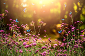 Verbena bonariensis and butterflies