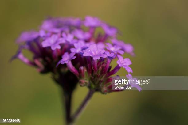 verbena bonariensis - bos stock pictures, royalty-free photos & images