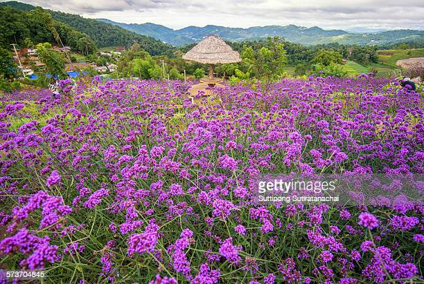 verbena field - lantana stock pictures, royalty-free photos & images