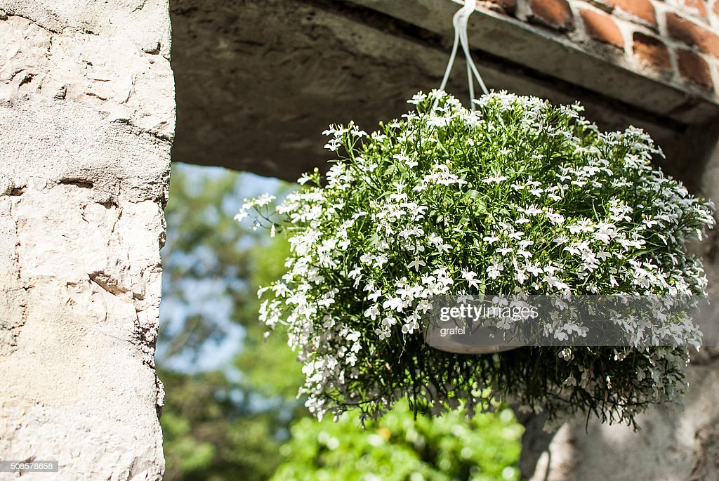 Verbena in flower pot : Stock Photo