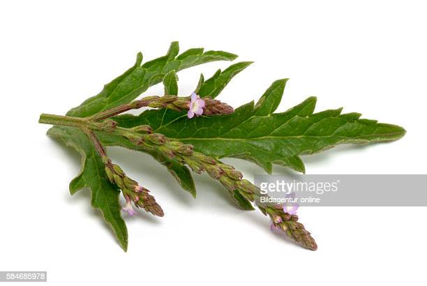 'Verbena officinalis the common vervain or common verbena Common vervain has been held in high esteem since the Antiquity it has long been associated...