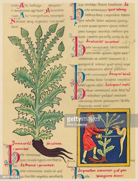 'Verbena or Vervain' 1947 Droughtresistant plant valued in butterfly gardening with longstanding use in herbalism and folk medicine usually as an...