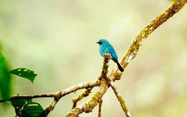 Verditer flycatcher (Eumyias thalassina) in Borneo.
