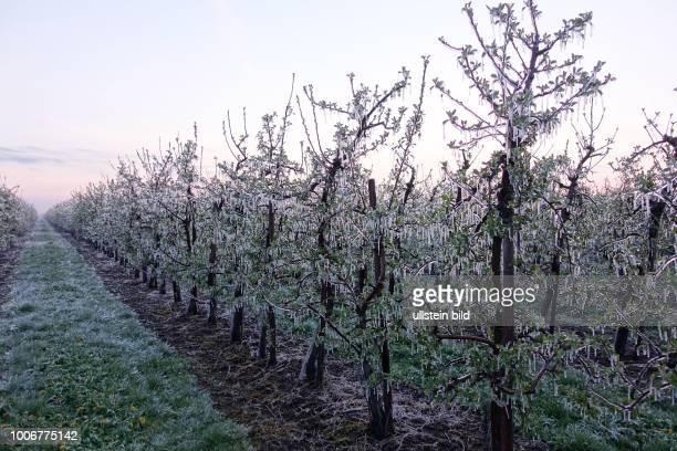 Vereiste Apfelbäume im Alten Land in Niedersachsen aufgenommen Die Bäume wurden durch Wasserverregnung künstlich vereist um die Knospen vor...