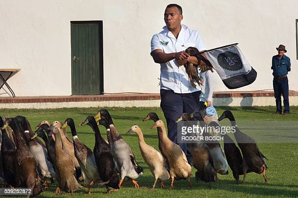 A Vergenoegd wine estate's employee shepherds a trained duckherd of approximately 1000 Indian Runner ducks as a tourist watches at Vergenoegd wine...