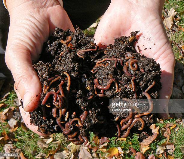 vermiculture - red worms - earthworm stock pictures, royalty-free photos & images