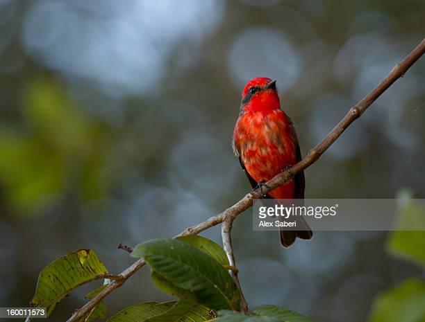 a vermilion flycatcher, pyrocephalus rubinus. - alex saberi photos et images de collection