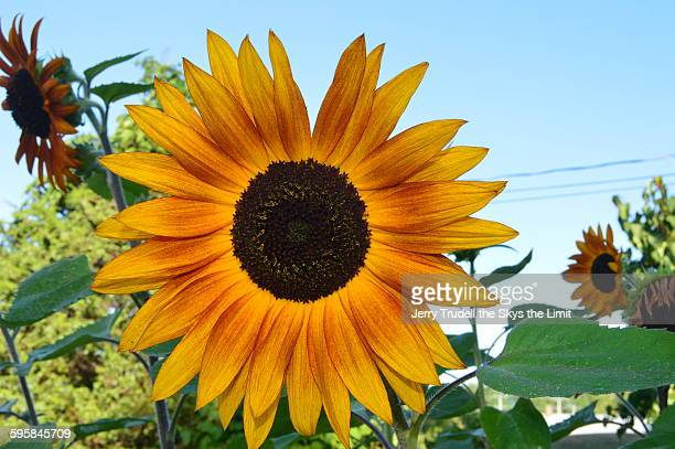 Vermont sunflower