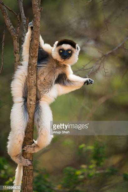 verreaux's sifaka  clinging to tree - lemur stock pictures, royalty-free photos & images