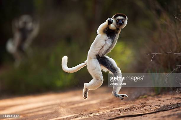 verreaux's sifaka hopping across open ground - lemur stock pictures, royalty-free photos & images