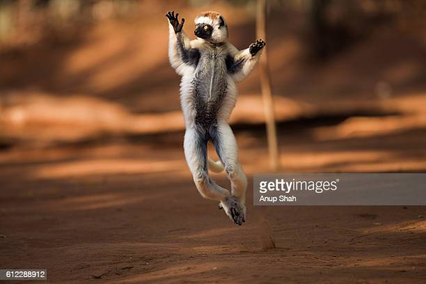 Verreaux's sifaka 'hopping' across open ground to reach new feeding area.