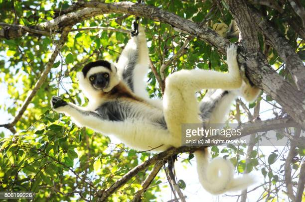 verreaux's sifaka in zombitse-vohibasia national park / madagascar - lemur stock photos and pictures