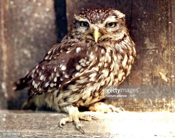 Verschlafen blinzelt dieser kleine Steinkauz von seinem schattigen Platz in der Voliere des Wildgeheges Hellenthal am 12.5.1998 in die wärmenden...