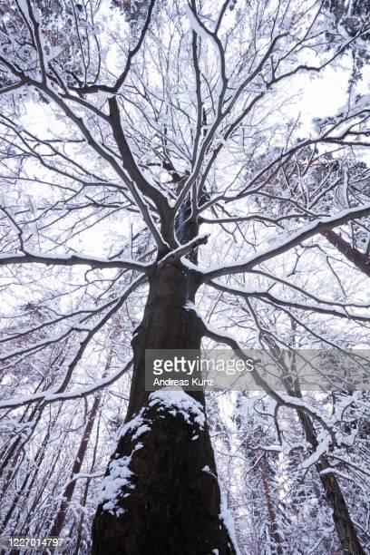 verschneiter baum im winter in der nähe der sächsischer schweiz bei bastei in lohmen in deutschland - baum stock pictures, royalty-free photos & images
