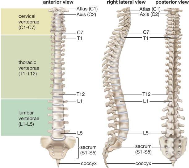 Vertebral column, spine, skeletal system, human anatomy ...