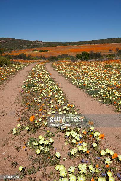 vertical image of two tracks heading through a field of multi-coloured flowers, south africa - ナマクワランド ストックフォトと画像