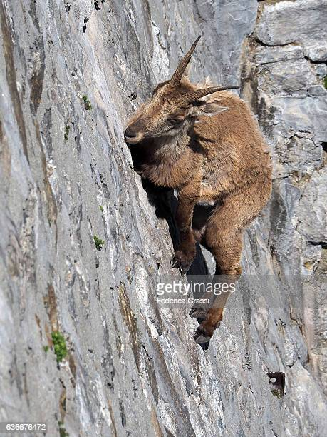 Vertical Image Of Wild Ibex Goat Climbing On Dam To Lick The Saltpetre