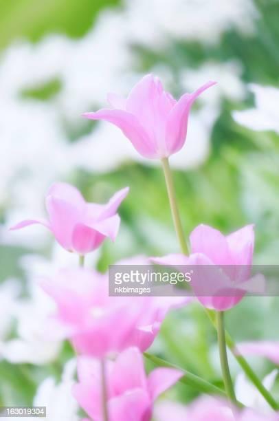 Verticale luce rosa brillante tulipani su una bella giornata di primavera