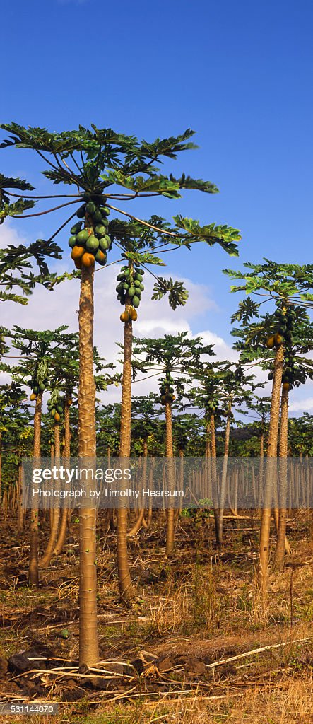 Vertical of papaya orchard with green and ripening fruit : Stock Photo