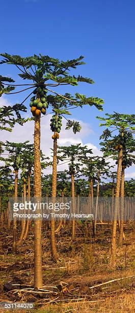vertical of papaya orchard with green and ripening fruit - timothy hearsum stock-fotos und bilder