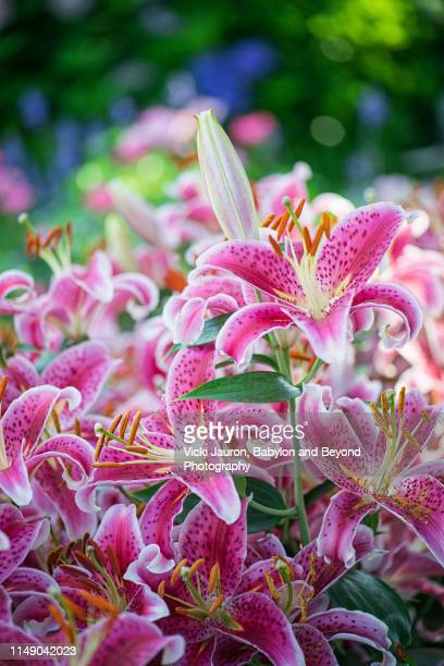 vertical of stunning stargazer lillies in full bloom in east hampton, long island - east hampton stock pictures, royalty-free photos & images