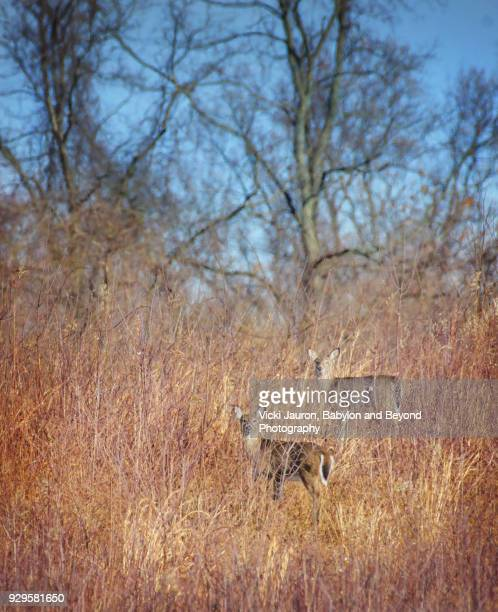 Vertical of Two Deer Camouflaged in the Grass at Caumsett State Park