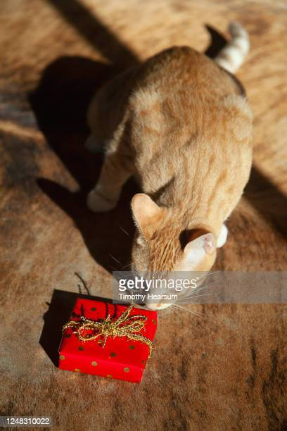 vertical shot of yellow tabby cat on a cowhide rug, cautiously approaching a wrapped gift - timothy hearsum stock pictures, royalty-free photos & images
