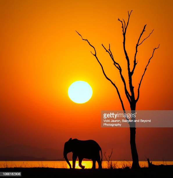 vertical silhouette of sun, dead tree and african elephant at sunset on lake kariba, zimbabwe - mammal stock pictures, royalty-free photos & images