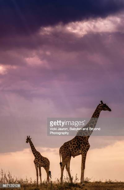 Vertical Silhouette of Two Giraffe at Sunset