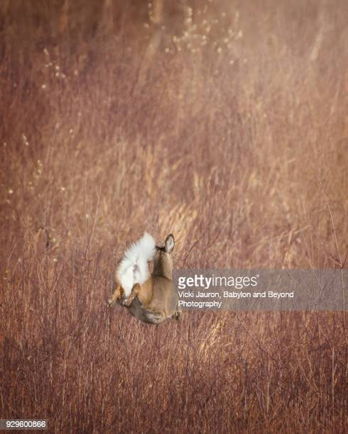Vertical View of Deer Leaping in Grass