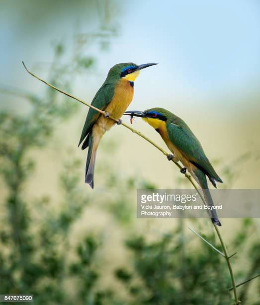 Vertical View of Two Little Bee Eaters in Samburu, Kenya