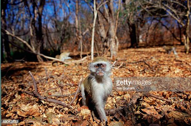 Ververt monkey sitting on autumn leaves in the forest Zimbabwe Africa