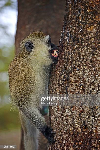Vervet monkey, Chlorocebus aethiops, feeding on gum exuded by acacia tree. Amboseli National Park. Kenya. Dist. Southern, Central & East Africa