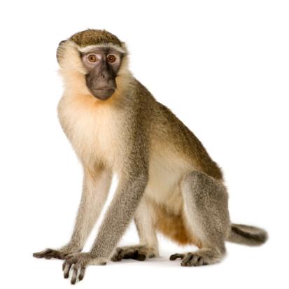Vervet Monkey - Chlorocebus pygerythrus 93214254