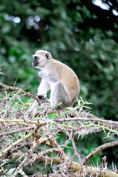 Vervet monkey (Chlorocebus pygerythrus) climbing tree