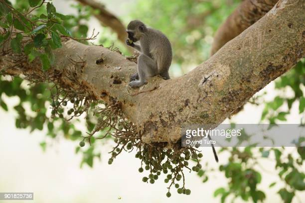 Vervet monkey eating figs